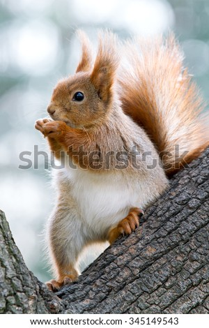 squirrel sits on the trunk of the tree and chews nuts on the background of sky