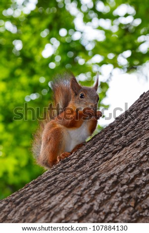 squirrel sits on trunk of tree and chews nuts, bright green foliage and sky
