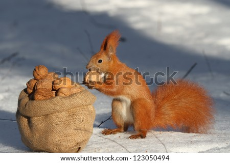 Squirrel sitting near the bag with nuts. Winter, snow - stock photo