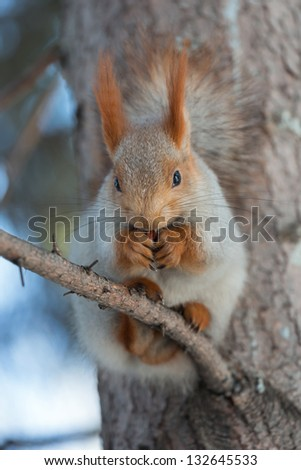 Squirrel sitting on a branch of spruce. Photo without treatment.