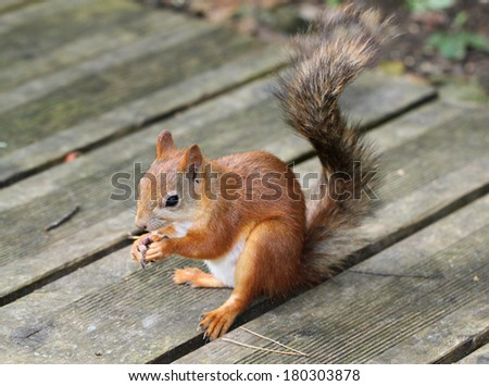 Squirrel sitting with nuts - stock photo