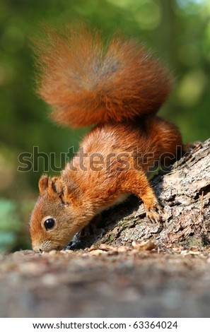 Squirrel smelling - stock photo