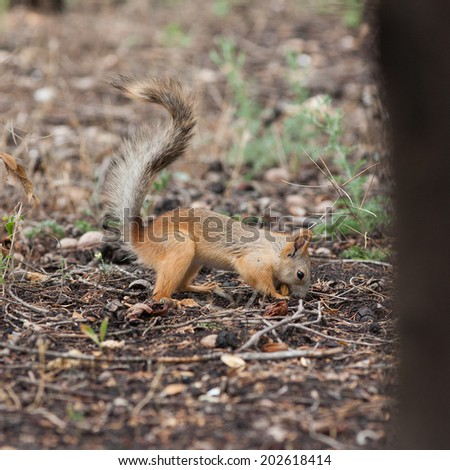 Squirrel. Squirrel hides nut in the park - stock photo