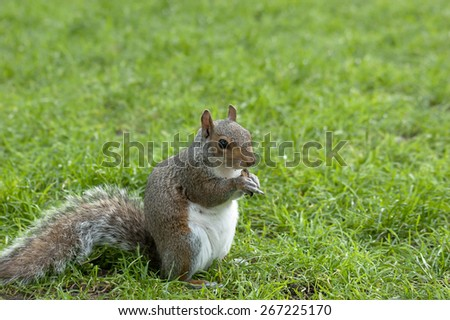 Squirrel standing and eating a nut. Grey squirrel in the meadow . - stock photo