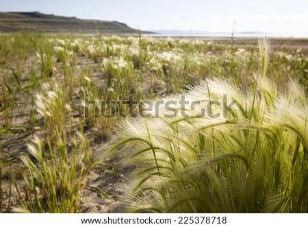 Squirrel-tail grass at Antelope Island State Park in Salt Lake City, Utah - stock photo