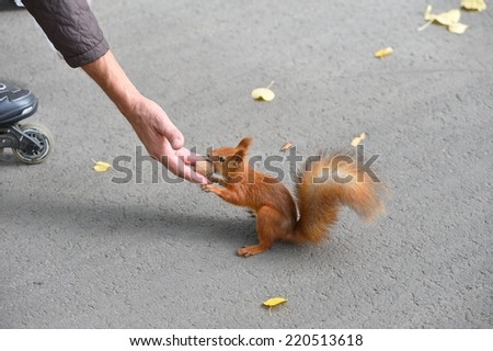 Squirrel takes nut from a man