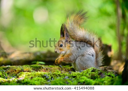 Squirrel, the spring keeps the food in your legs on a forest background - stock photo