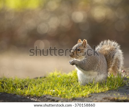 Squirrel with a Nut. A grey squirrel is happy to munch on a gift of a nut. - stock photo