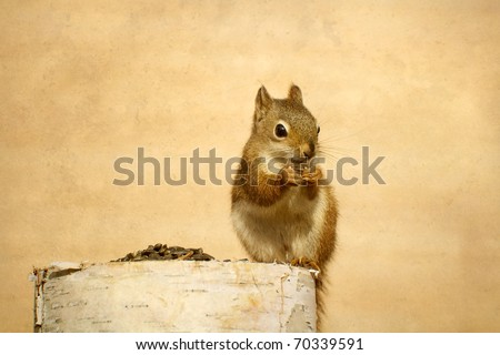 Squirrel (young) enjoying sunflower seeds on birch log with copy space. - stock photo