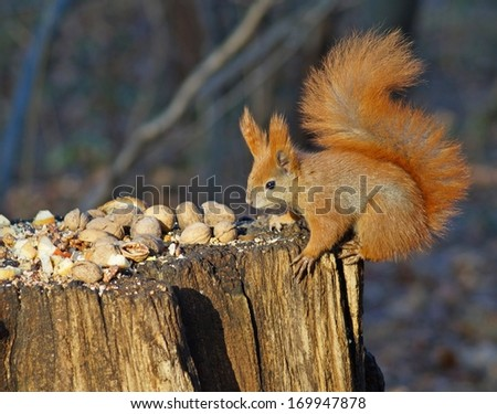 Squirrels in the forest - at the table - stock photo