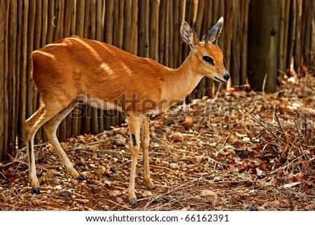 Sreenbok antelope in Kruger National Park, South Africa - stock photo