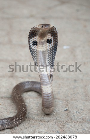 Sri Lanka, Cobra  - stock photo