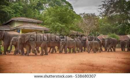 Sri lanka: group of elephants going to drinking and be bathing place in Pinnawala, the largest herd of captive elephants in the world