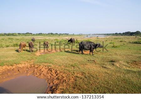 Sri Lanka, Yala national park safari - stock photo
