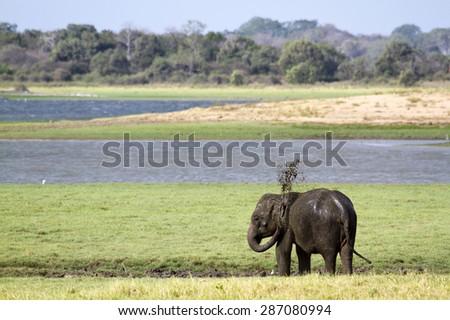 Sri lankan elephant in Minneriya national park ; Subspecie elephas maximus maximus  - stock photo