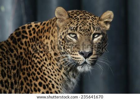 Sri Lankan leopard (Panthera pardus kotiya), also known as the Ceylon Leopard.  - stock photo