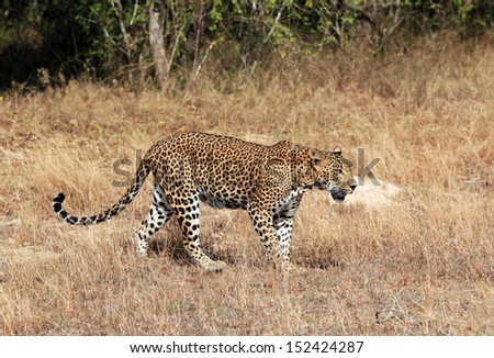 Sri Lankan Leopard (Panthera Pardus Kotiya) Walking in Grass, Yala, Sri Lanka