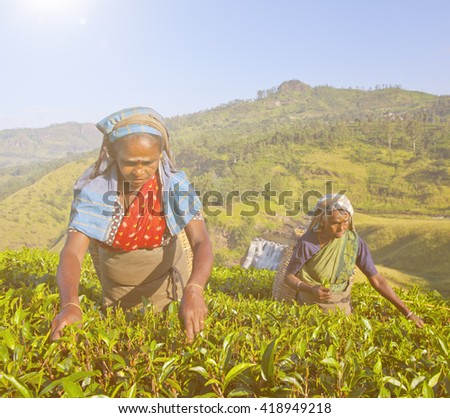 Sri Lankan women picking tea leaves.