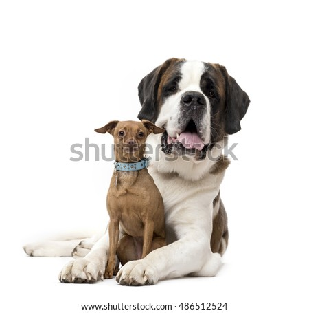 St. Bernard and Miniature Pinscher staring isolated on white