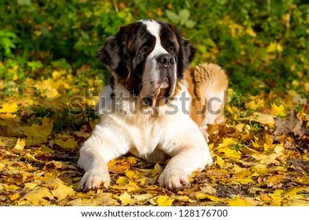 St. Bernard dog in autumn park - stock photo