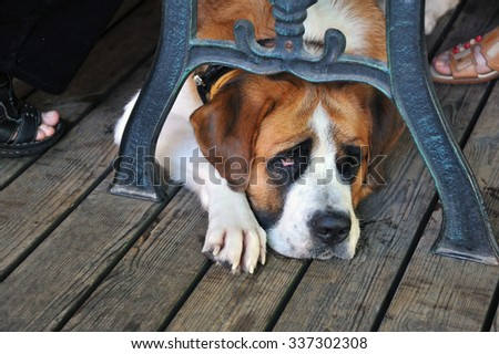 St. Bernard dog lying under the table - stock photo