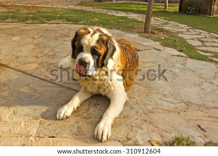 St. Bernard dog resting peacefully in the garden - stock photo