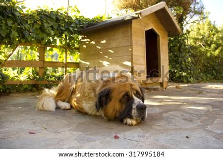 St. Bernard dog resting peacefully in the garden - stock photo