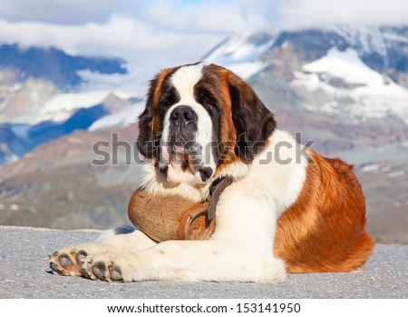 St. Bernard Dog with keg ready for rescue operation - stock photo