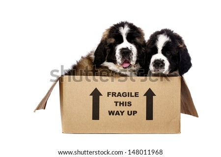 St Bernard puppies sat in a cardboard box isolated on a white background - stock photo