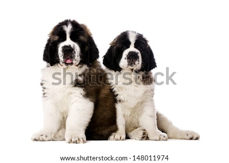 St Bernard puppies sat isolated on a white background - stock photo