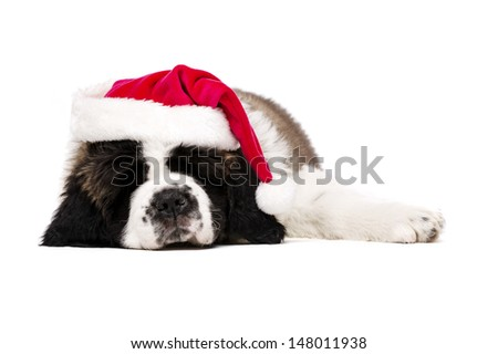 St Bernard puppy asleep wearing a Christmas Santa hat isolated on a white background - stock photo