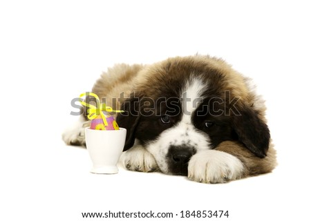 St Bernard puppy laid isolated on a white background with an easter egg - stock photo