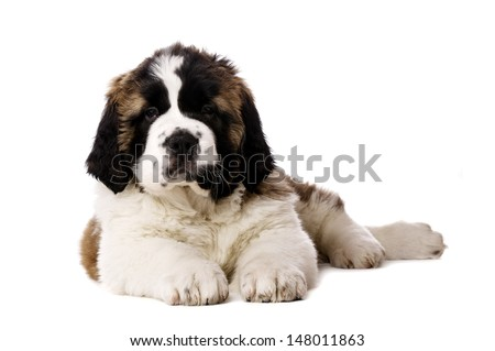 St Bernard puppy laid looking at the camera isolated on a white background