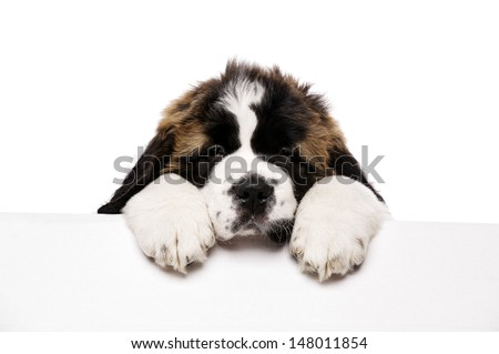 St Bernard puppy looking over a blank sign isolated on a white background