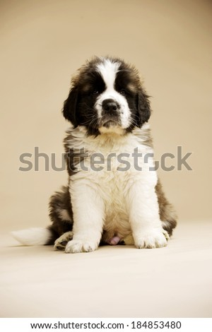 St Bernard puppy sat isolated on a gold background - stock photo