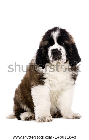 St Bernard puppy sat isolated on a white background - stock photo