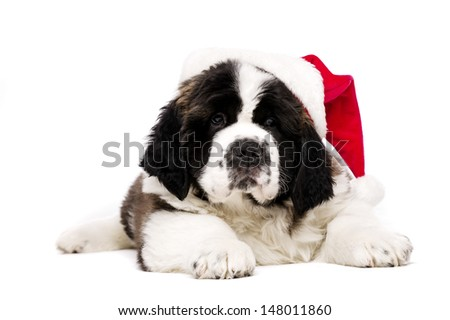 St Bernard puppy wearing a Christmas Santa hat isolated on a white background - stock photo