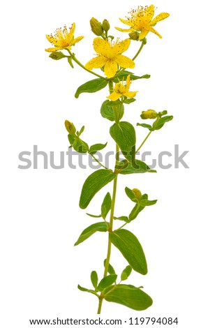 St. John's wort (Hypericum perforatum) isolated on white background - stock photo