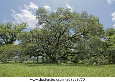 St. Landry Parish Oak - stock photo
