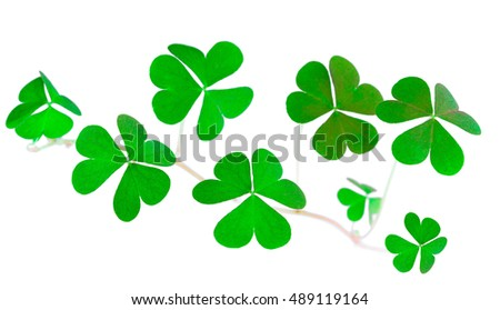 St. Patrick's Day symbol. Shamrock clover green heart-shaped leaves isolated on white background in 1:1 macro lens shot