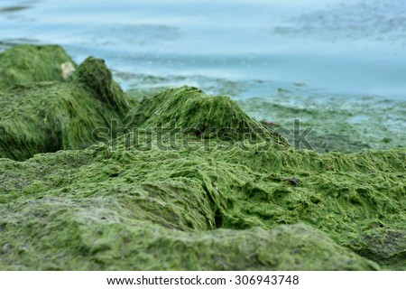 ST. PETERSBURG, RUSSIA - AUGUST 8, 2015: Blue-green algae blooms in the Gulf of Finland. The phenomenon observed since 1990s and caused mainly by high level of industrial pollution - stock photo