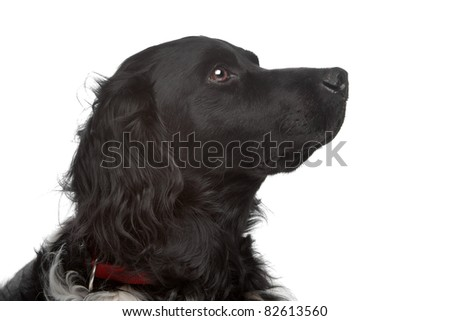 Stabyhoun or Frisian Pointer in front of a white background