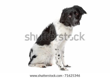 Stabyhoun or Frisian Pointing Dog