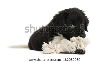 Stabyhoun puppy lying down, chewing a rope toy, isolated on white - stock photo