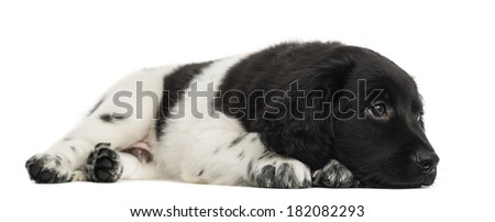 Stabyhoun puppy lying, looking away, pensive, isolated on white