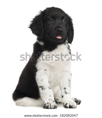 Stabyhoun puppy sitting, tongue out, isolated on white