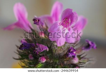 Stachys officinalis (Purple betony) flower closeup - stock photo