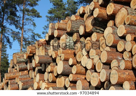 Stack of cut pine timber logs in pine forest with blue sky background. - stock photo