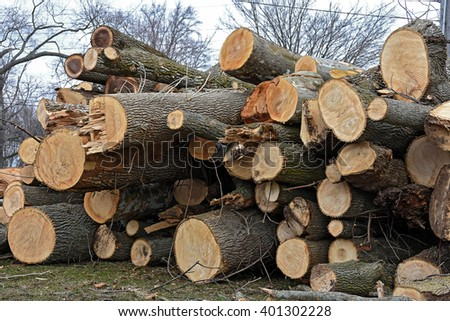 stack of cut sycamore and ash tree logs - stock photo