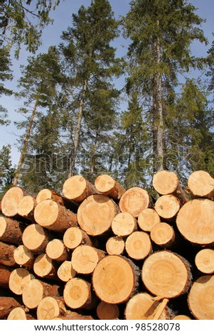 Stack of pine logs with tall spruce trees and blue sky on the background, vertical view. - stock photo